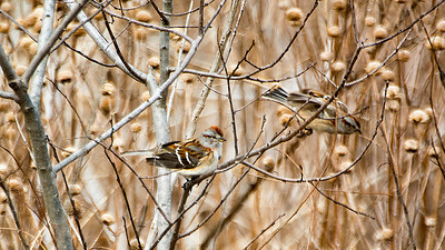 MDX3979 American Tree Sparrows
