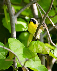 Common Yellowthroat (m) C6809