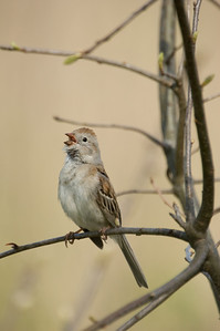 Field Sparrow (Gray) D1923