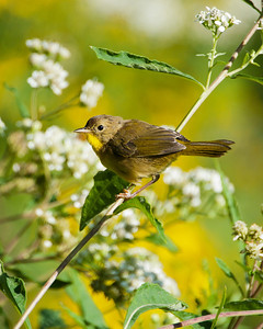 Common Yellowthroat (f) SC7525