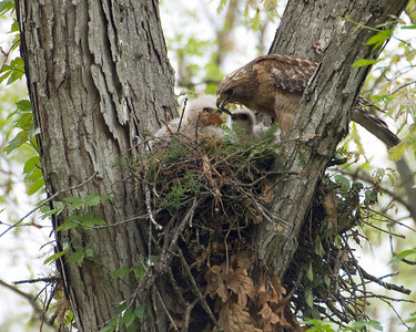 Feeding Red Shoulder Hawk Nest